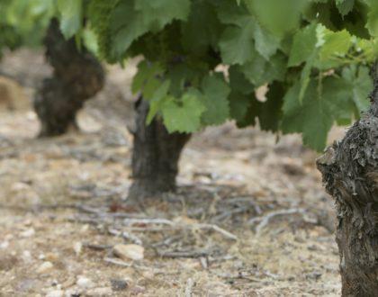 Los viñedos en El Bierzo
