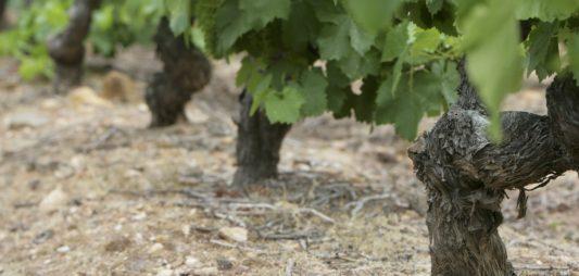 (Español) Los viñedos en El Bierzo