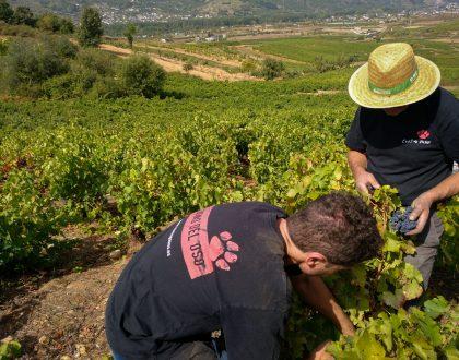 (Español) Adiós a la vendimia, hola al vino